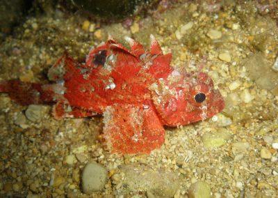 Roter Drachenfisch